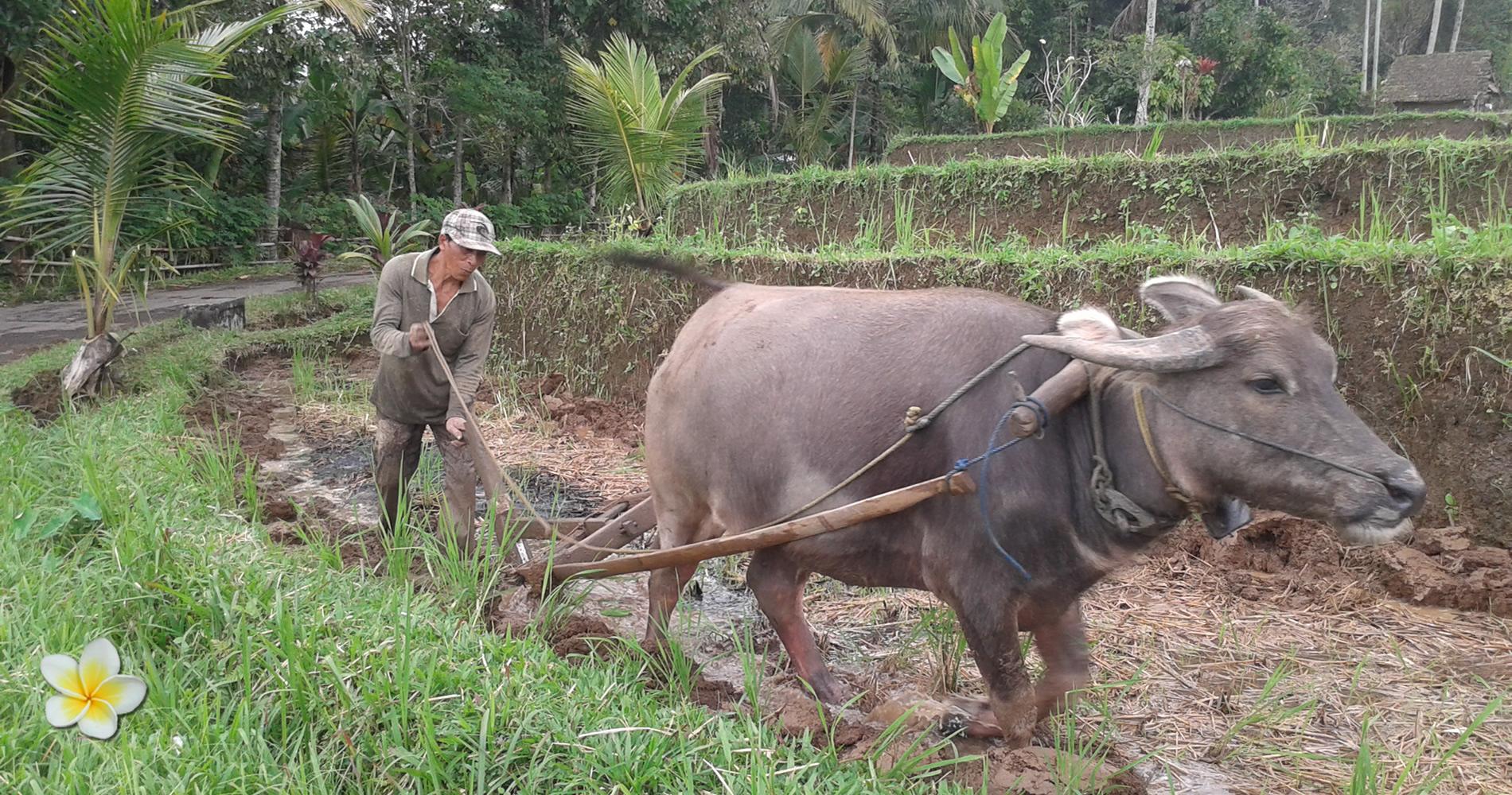 Balinese Boer