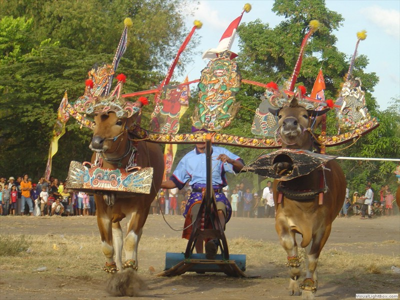 bull_race