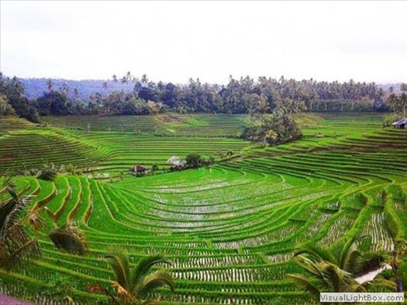ricefields
