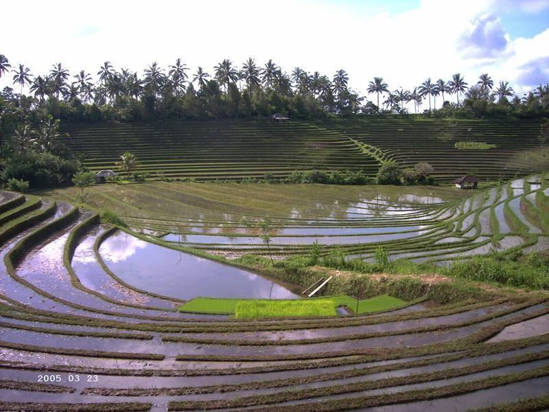 Rijsterrassen bij het bergdorp Belimbing aan de voet van de Gunung Batukaru (Copy)